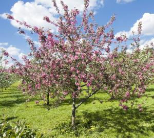 Presenting collection Photos pink fruit trees