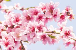 Presentation of new photo collection Pink flowers on trees in spring